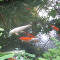 Centennial Park Conservatory -- Carp in pool inside greenhouse enjoy a peaceful existence, while the winter temperature outside is colder than seasonal average.  The flora and fauna are available 365 days per year to the citizens of the city.  This venue is physically smaller than the location downtown, but the scent of flowers is noticed here.  (Centennial Park Conservatory, Elmcrest Road, Etobicoke, Ontario) 20190101