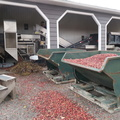 Muskoka Lakes Farm and Winery -- Harvest line at work @CranberryDotCA. Spoke with @CranberryFarmer, we went to @GravenhurstHS together a generation ago, his four sons are younger than our four sons.  Berries in hopper fed into air cleaner, operator removing clinging vines.  This building was constructed in 1986, DY and I last visited Johnstons Cranberry Marsh in 1984.  (Muskoka Lakes Farm and Winery; Cranberry Road, Bala, Ontario) 20191012